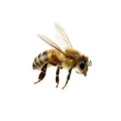 This is a Honey Bee